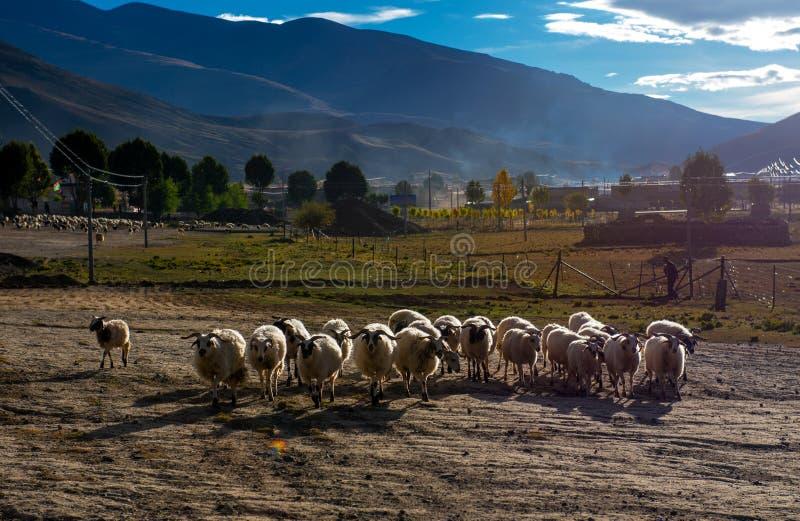 Красивый пейзаж: Овцы и женщина стоковые изображения rf