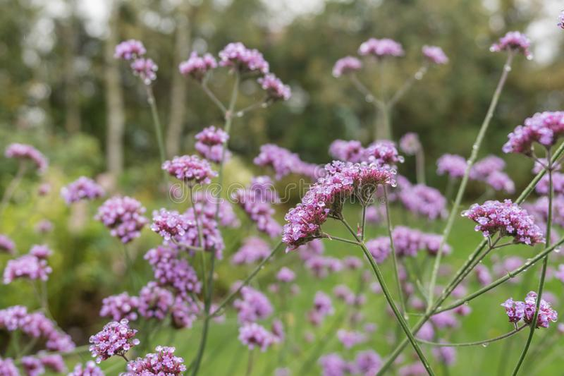 Красивый пинк и пурпурный цветок в саде стоковая фотография rf