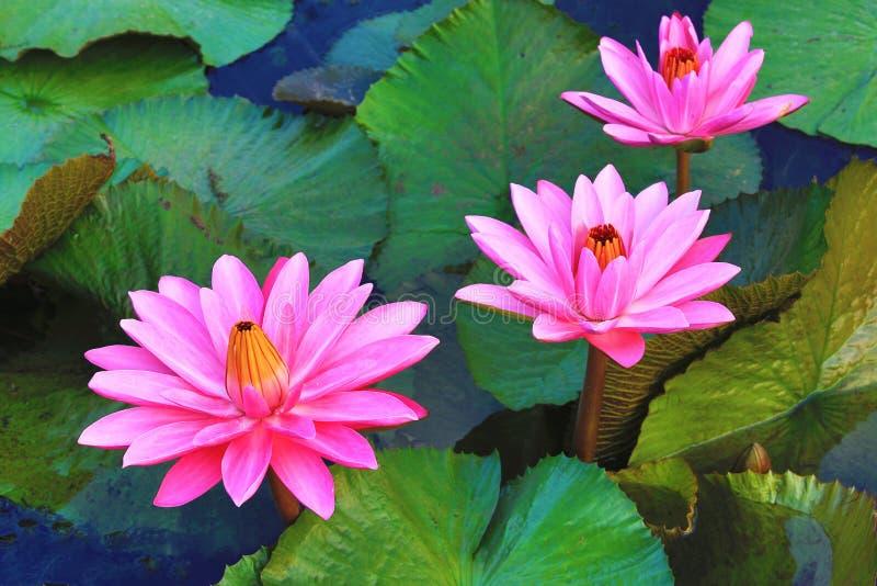 Красивый пинк waterlily цветет и листья зацветая в пруде стоковое изображение rf