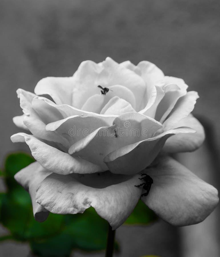 Красивый подняло это влияние было идеально я любит розы стоковое изображение rf