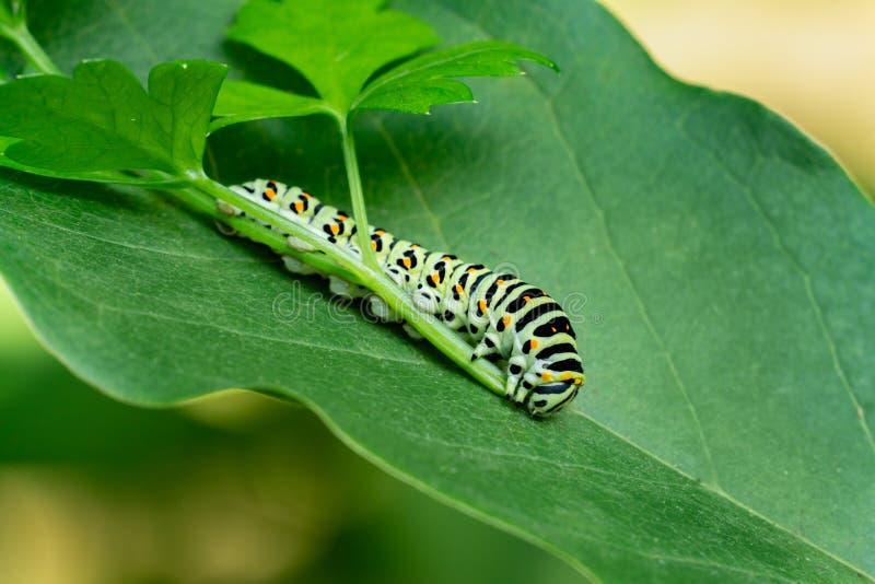 Красивый полосатый бабочечный гусеничный столб расположен на зеленом листе магнолии Макро-гусеница мачаонская бабочка стоковое изображение