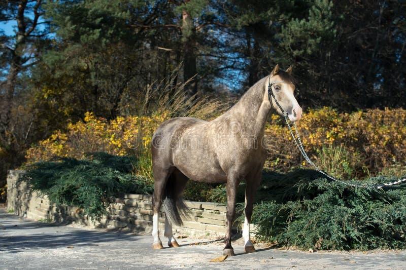 Красивый пони валийца лосиной кожи представляя в славном месте стоковое фото