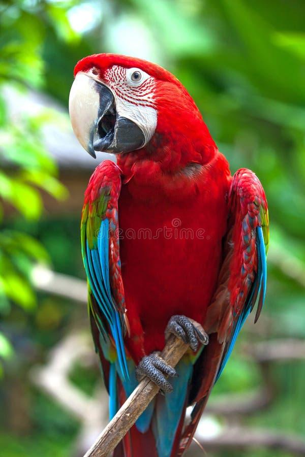 Красивый попугай в тропическом зоопарке Ubud, Бали, Индонезии стоковые фото