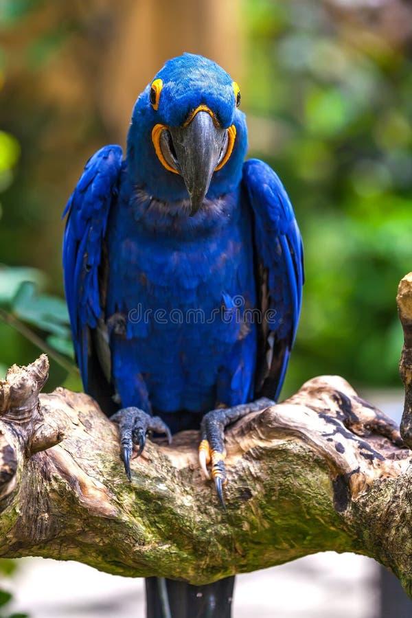 Красивый попугай в тропическом зоопарке Ubud, Бали, Индонезии стоковая фотография rf