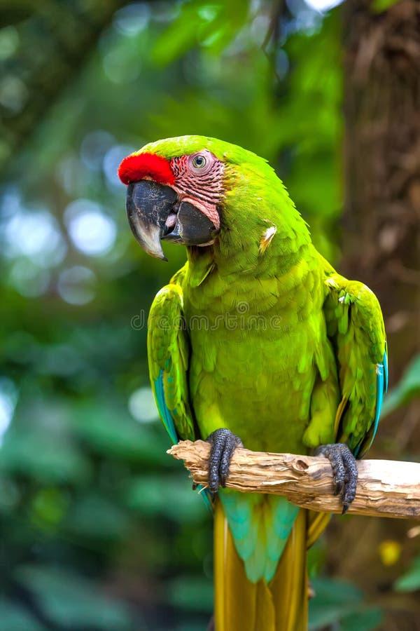 Красивый попугай в тропическом зоопарке Ubud, Бали, Индонезии стоковые изображения