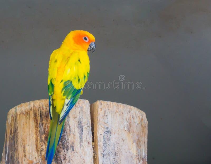 Красивый попугай jandaya от задней части, показывая свои красочные пер и смотря камеру стоковое фото rf