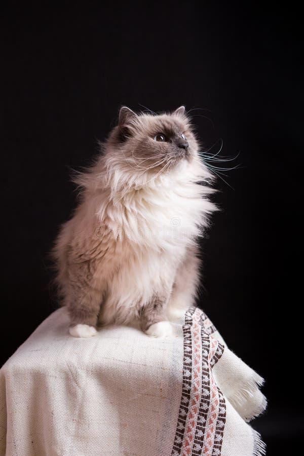 Красивый портрет кота Masquerade Neva стоковое изображение rf