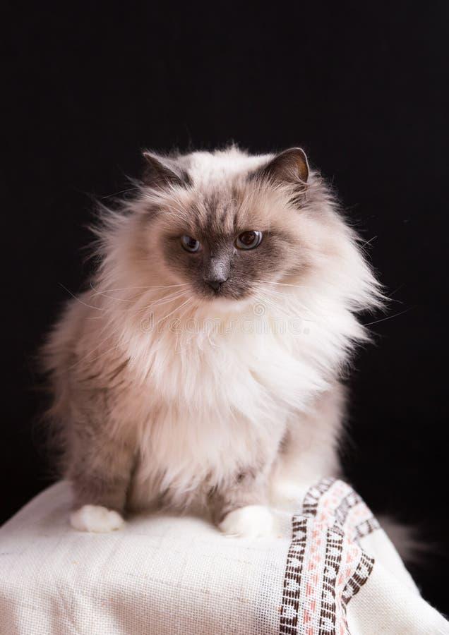 Красивый портрет кота Masquerade Neva стоковая фотография