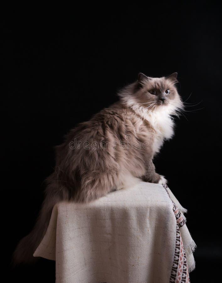 Красивый портрет кота Masquerade Neva стоковые фотографии rf
