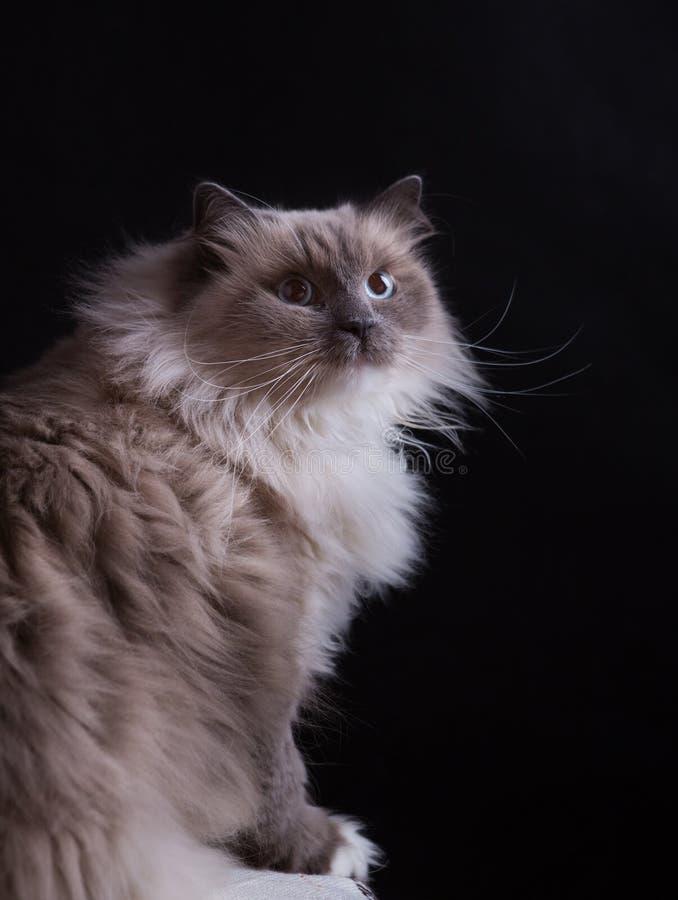 Красивый портрет кота Masquerade Neva стоковая фотография rf