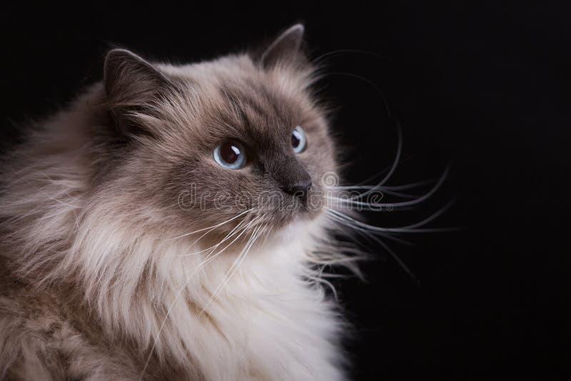 Красивый портрет кота Masquerade Neva стоковое фото