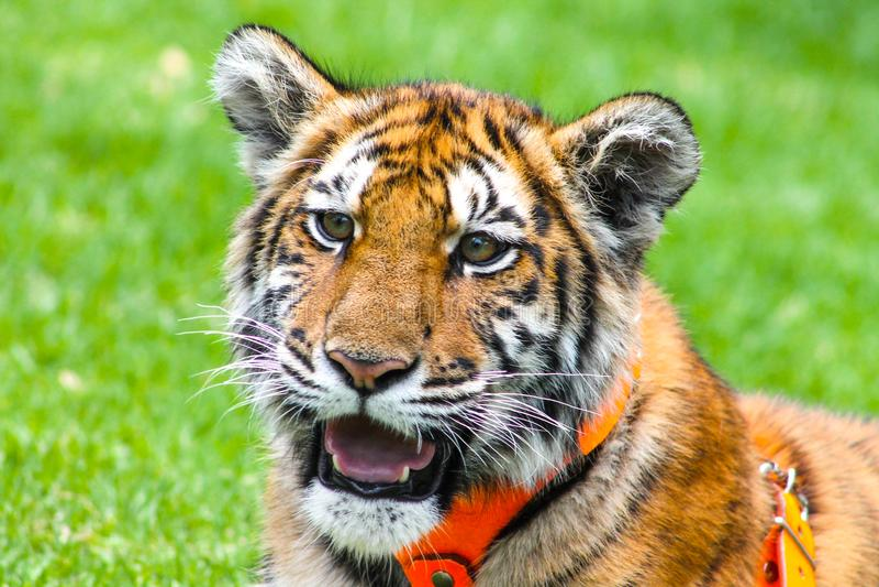 Красивый портрет тигра младенца стоковые изображения rf
