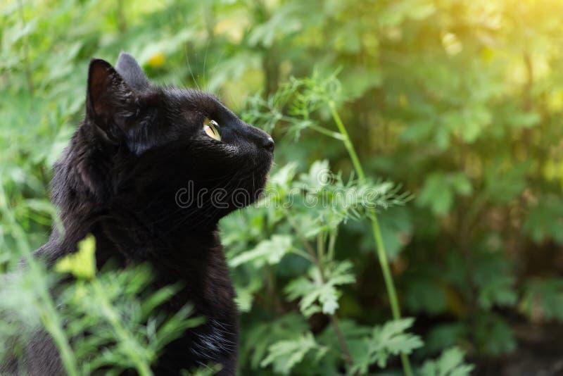 Красивый портрет черного кота bombay в профиле с желтыми глазами, космосе экземпляра стоковое фото rf