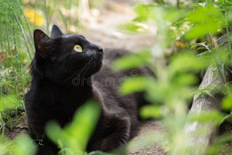 Красивый портрет черного кота bombay в профиле с желтыми глазами, космосе экземпляра стоковое фото