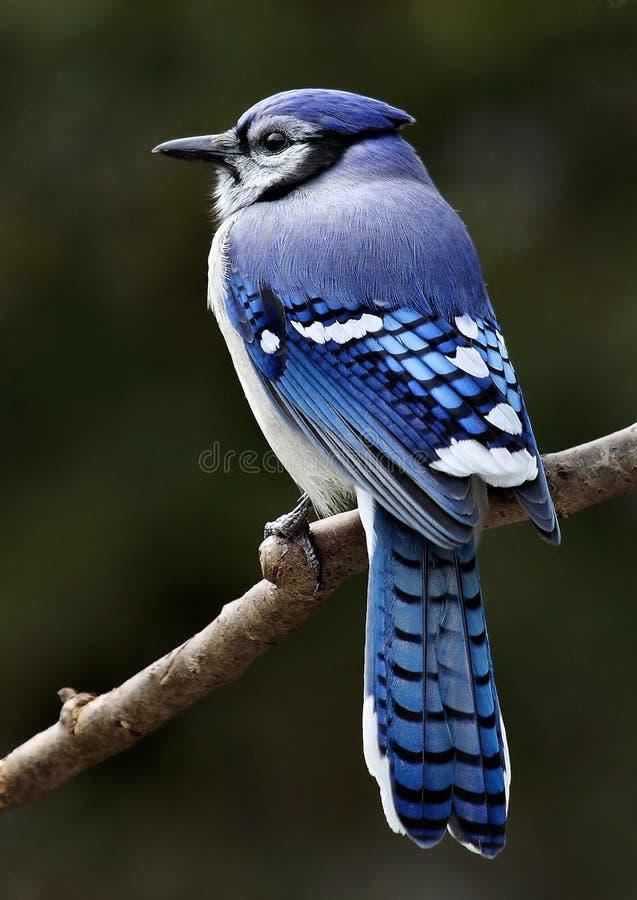 Красивый представлять голубого Джэй стоковое изображение