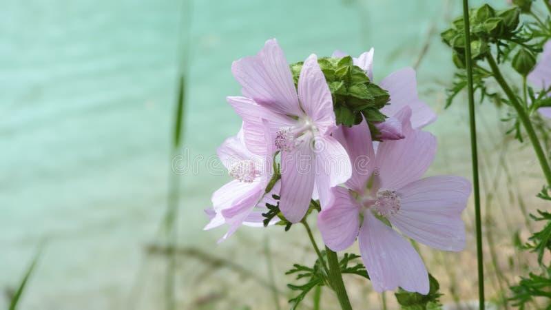 Красивый просвирник с цветками около озера стоковые фото