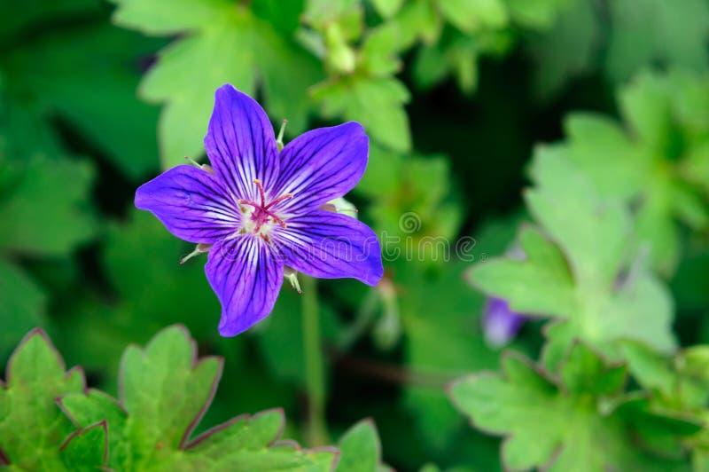 Красивый пурпурный гераниум леса цветка в саде стоковые изображения rf
