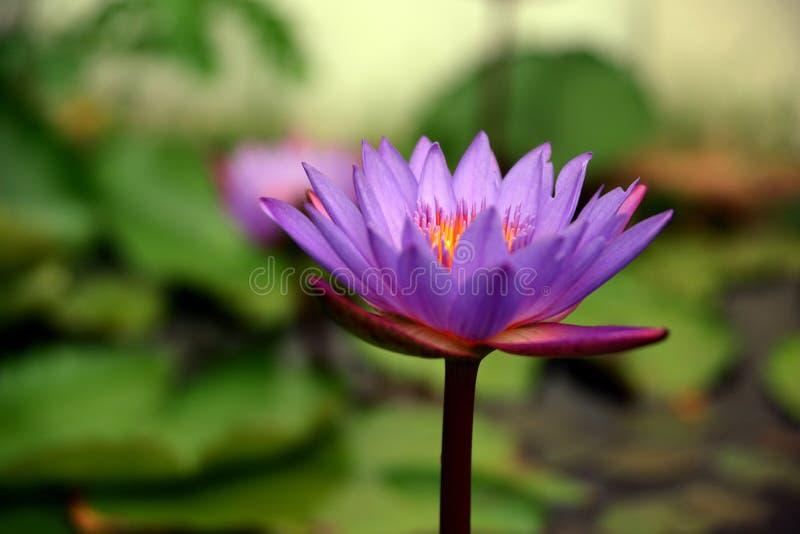 Красивый пурпурный крупный план цветка лотоса в естественном свете стоковые изображения rf