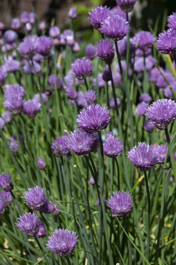 Красивый пурпурный расти цветков chive в солнечности стоковые изображения