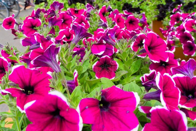Красивый пурпурный розовый зацветать цветков стоковое изображение
