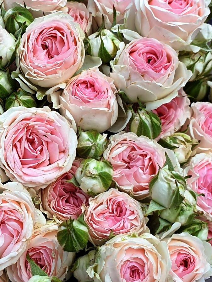 Красивый розовый белый чай поднял роза сада с букетом цветков которое имеет чувствительный нюх сказало походить это из рынка fl ч стоковые изображения