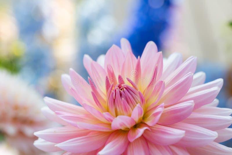 Красивый розовый георгин b стоковое изображение