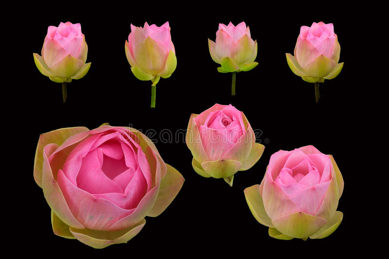 Красивый розовый изолированный цветок лотоса стоковые фотографии rf