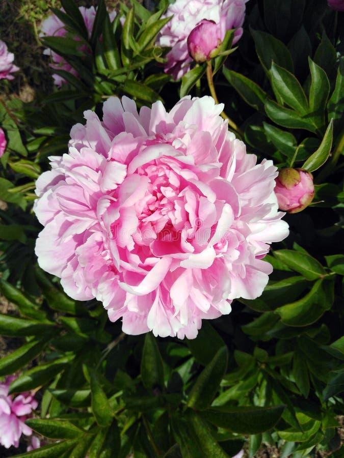 Красивый розовый крупный план пиона на теплый солнечный день стоковое фото rf