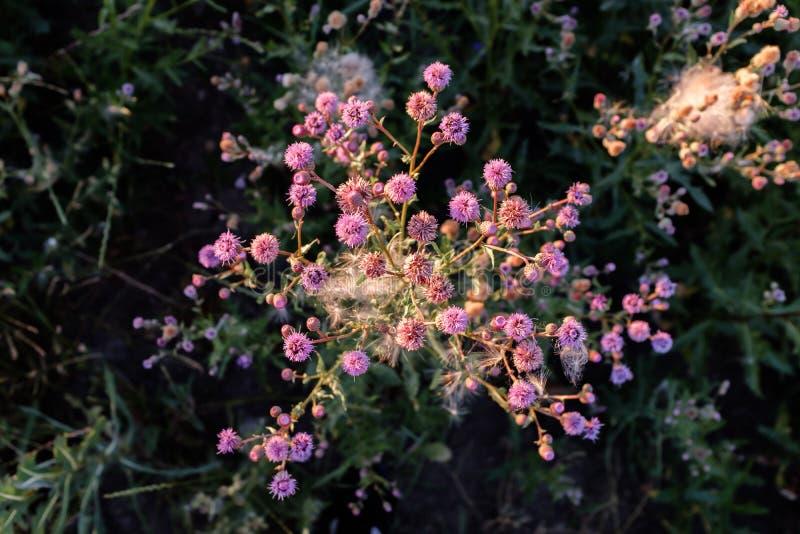 Красивый розовый куст wildflower в луге стоковое фото