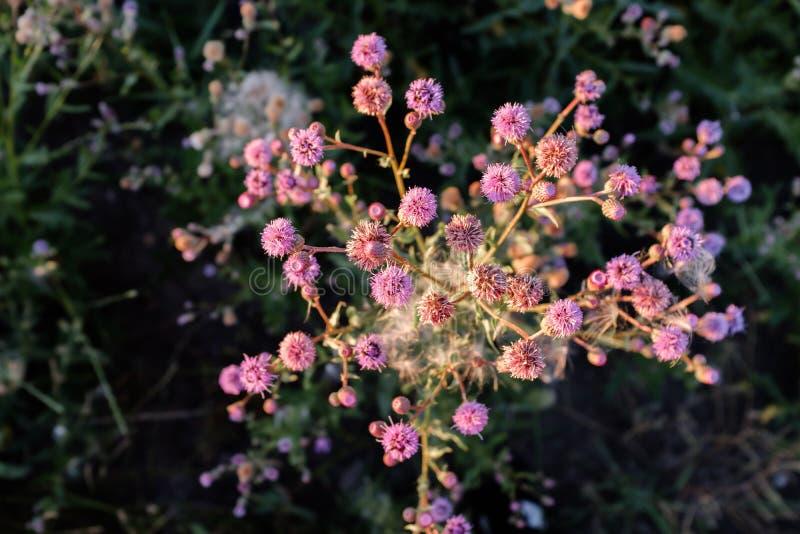 Красивый розовый куст wildflower в луге стоковые изображения
