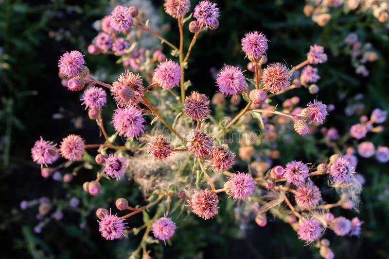 Красивый розовый куст wildflower в луге стоковые фото