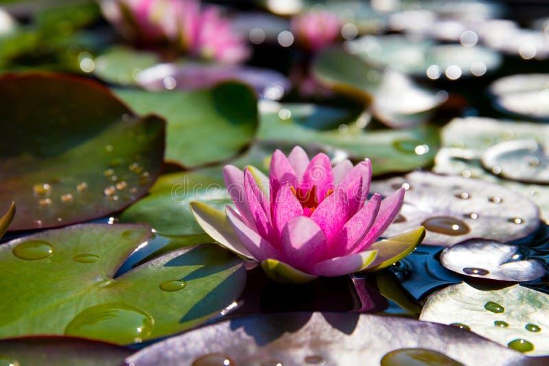 Красивый розовый лотос, водоросль в пруде стоковое изображение rf