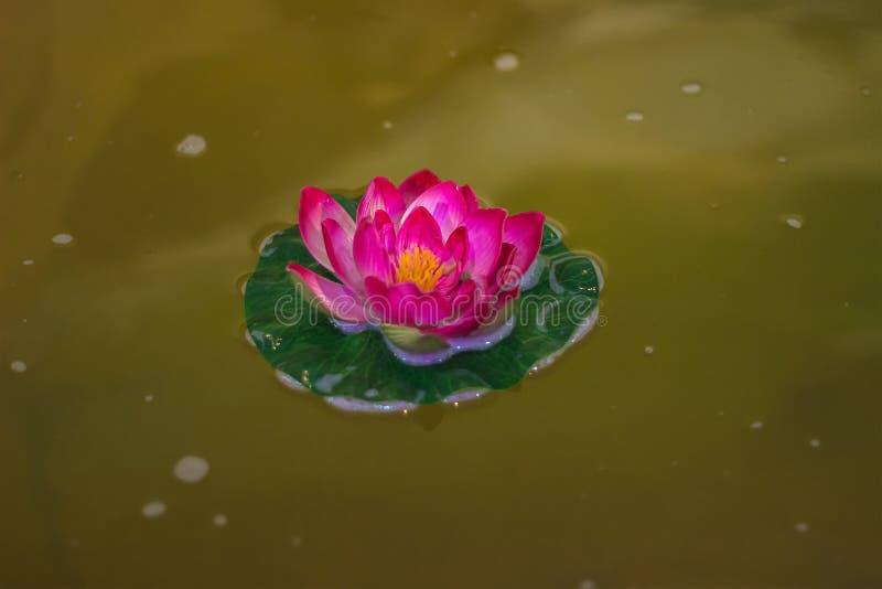 Красивый розовый лотос, водоросль в пруде стоковое фото rf