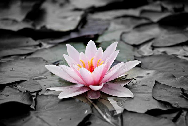 Красивый розовый лотос, водоросль с отражением в пруде стоковые изображения