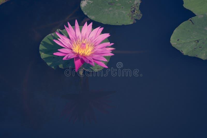 Красивый розовый лотос, водоросль с отражением в пруде стоковое изображение
