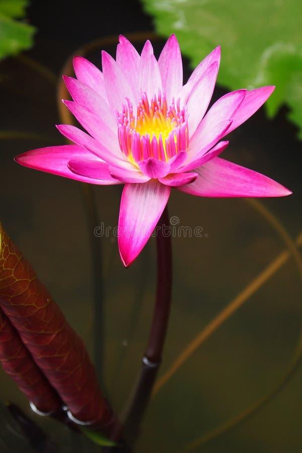 Красивый розовый лотос стоковое изображение