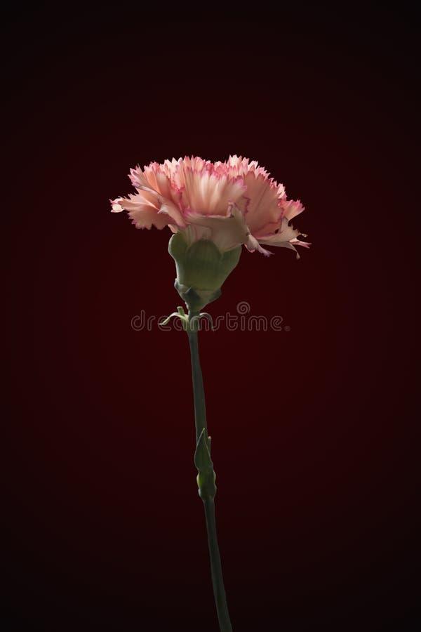 Красивый розовый фиолетовый цветок гвоздик стоковые изображения