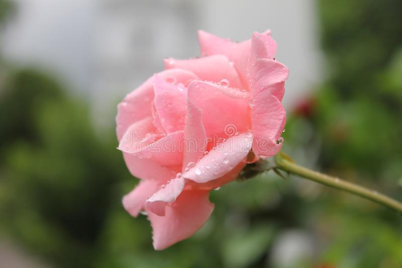 Красивый розовый цветок вполне падений воды стоковые изображения rf