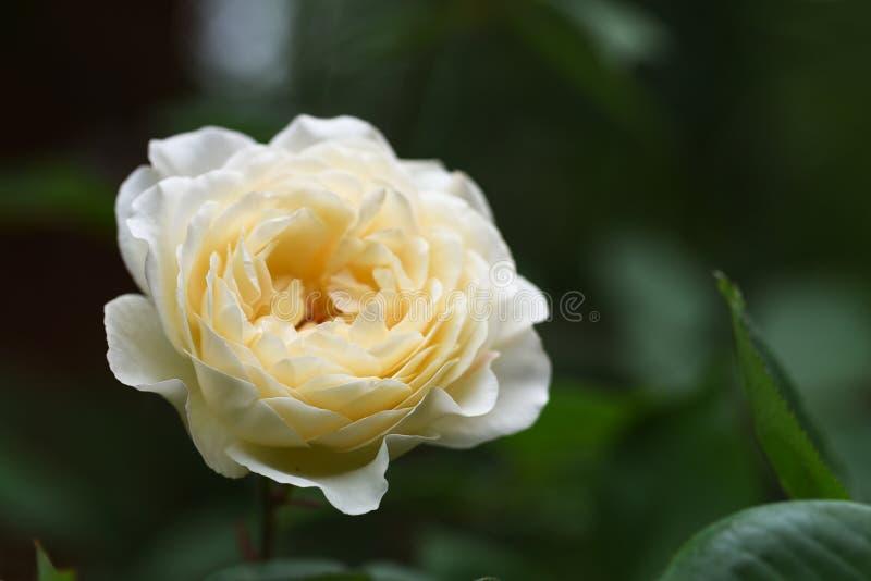 Красивый розовый цветок в сметанообразной желтой белизне против темного gree стоковое фото rf