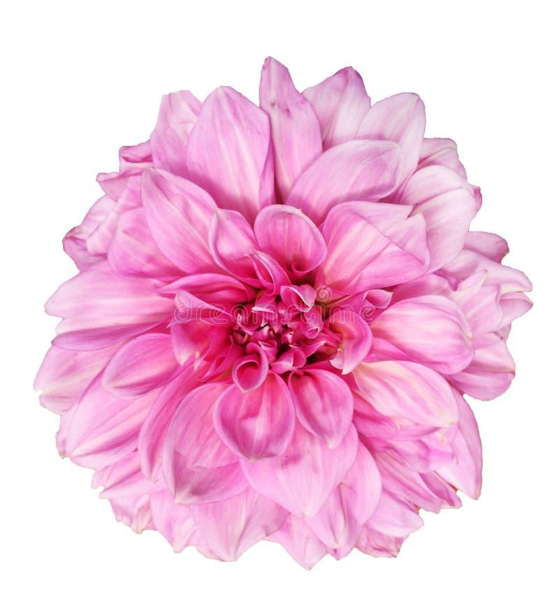 Красивый розовый цветок георгина совершенства лаванды изолированный на белой предпосылке стоковые изображения