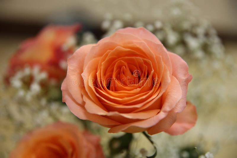 Красивый розовый цветок для счастливого поздравления стоковое изображение