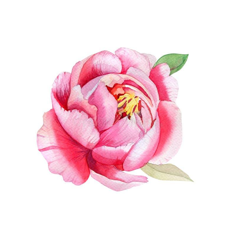 Красивый розовый цветок, картина акварели иллюстрация вектора