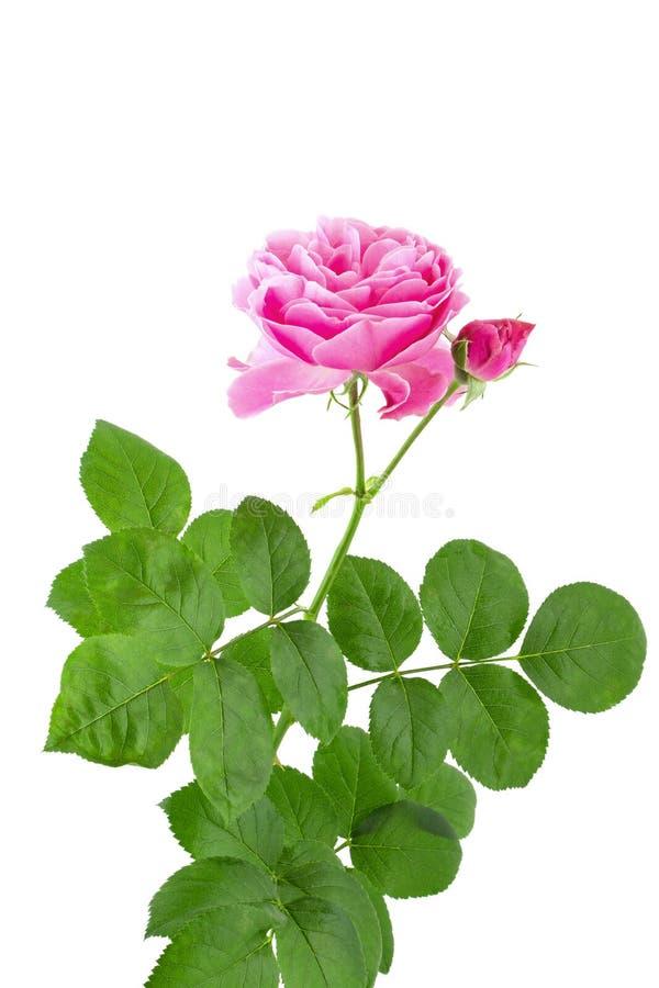 Красивый розовый розовый цветок на черенок с зелеными листьями изолированными на белой предпосылке стоковые фотографии rf