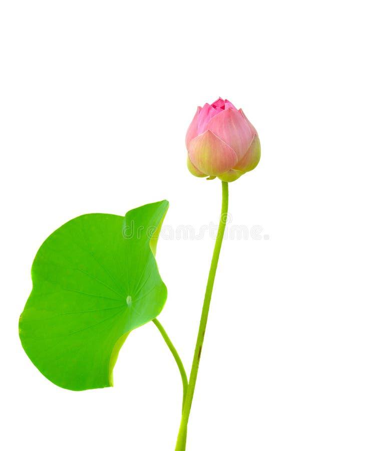 Красивый розовый цветок лотоса на белой предпосылке стоковое фото