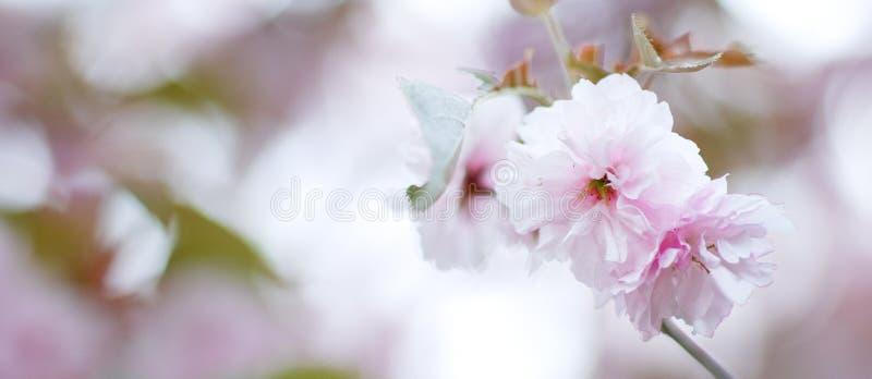 Красивый розовый цветок Сакуры стоковое изображение rf