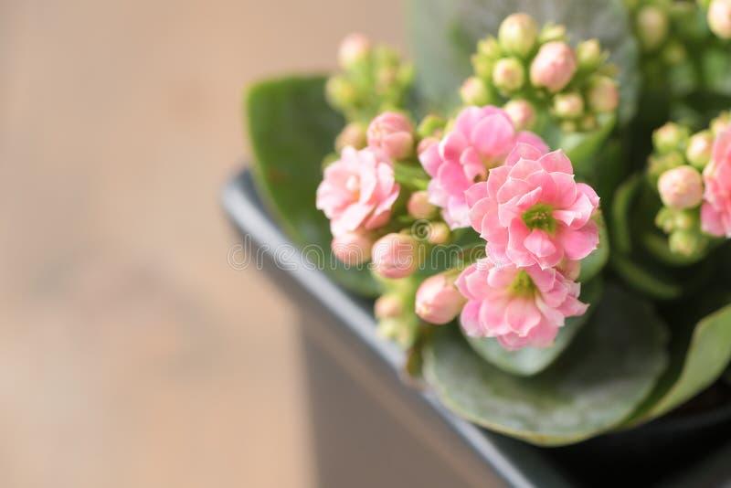 Красивый розовый цветок Kalanchoe или пылать Katy стоковое фото