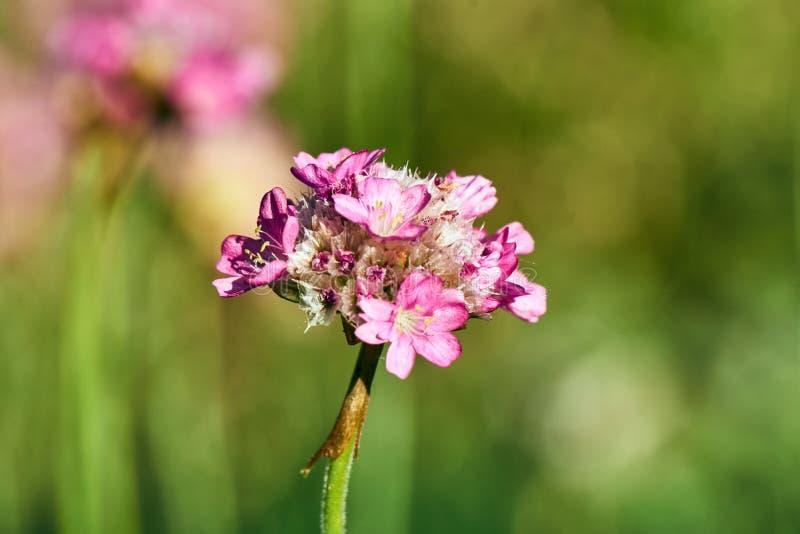 Красивый розовый цветок rockery во время весны стоковое фото