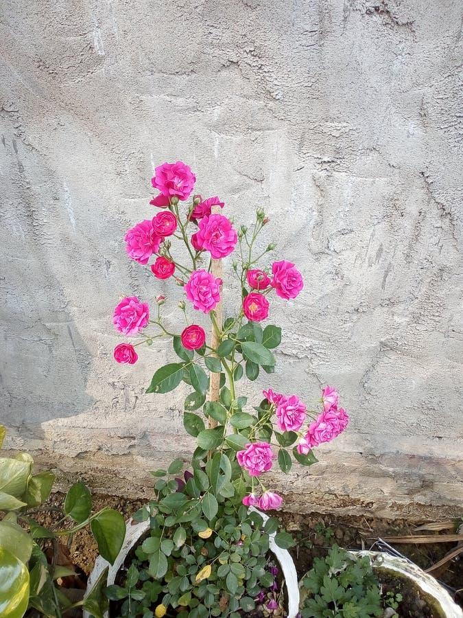 Японская роза стоковые фото