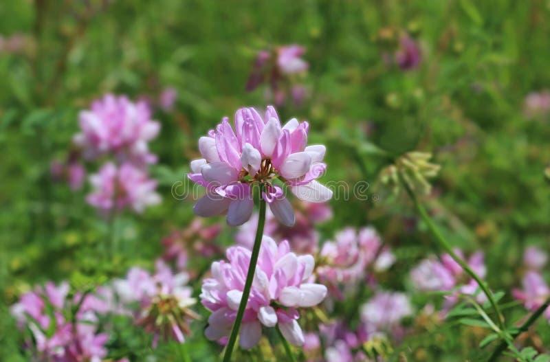 Красивый розовый wildflower в луге, конец-вверх стоковые фотографии rf