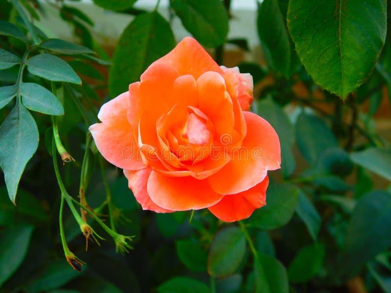 Красивый свежий оранжевый розовый цветок стоковое изображение rf